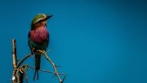 Lilac-Breasted Roller, Kruger National Park, South Africa